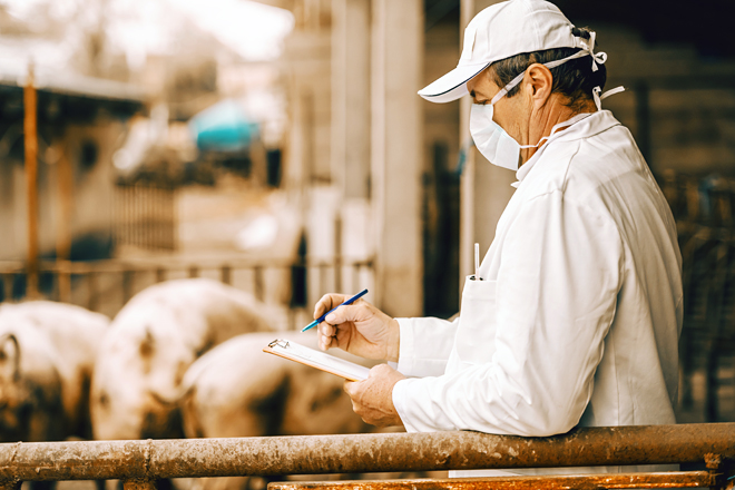 Veterinarian in white coat, hat and with protective mask on face writing in clipboard results of pigs examination while standing in cote.