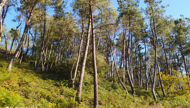 Corta de pino prevista