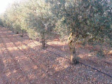 """""""Os lumes queimáronnos máis de 18.000 oliveiras na última década; non volverei plantar en Galicia"""""""