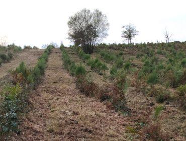 Convocadas as axudas para forestación con coníferas e frondosas