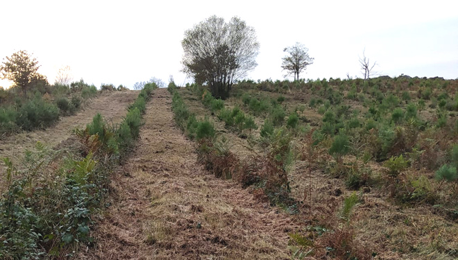 Nova plantación de piñeiros