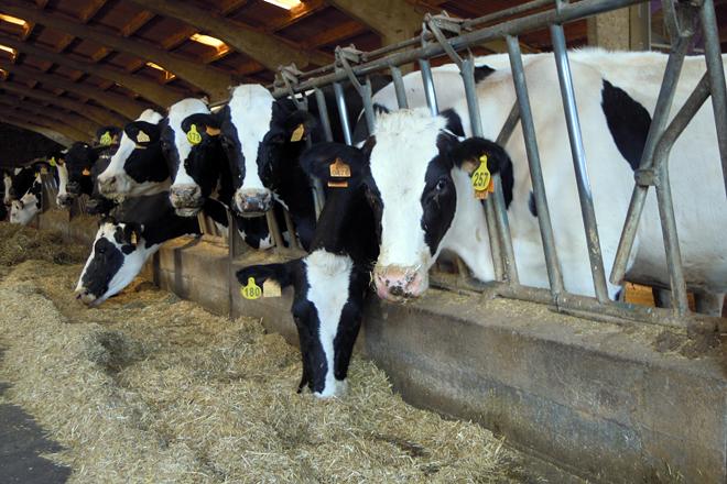 Lote de preparto. Neste momento están muxindo animais con moitos días en leite por un desaxuste na fertilidade o verán pasado