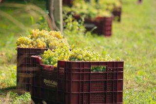 Rías Baixas supera os 34 millóns de quilos de uva, a poucos días para o final da vendima
