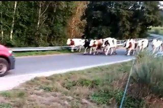 Un gandeiro de Chantada, desesperado polos continuos ataques dunha manda de cans ceibos ao seu gando