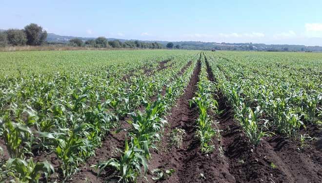Maíz en ecológico cultivado en parcelas de A Limia.