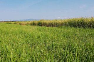 Probas con sorgo, pasto do Sudán e millo nunha gandería ecolóxica de Allariz