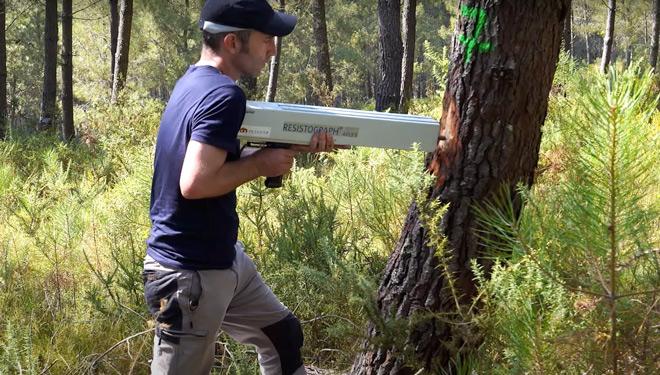 Piñeiros 'premium', como a mellora xenética se adapta ás necesidades da industria da madeira