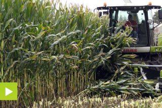 'Pioneer P0725', un millo adaptado a campañas con secas estivais