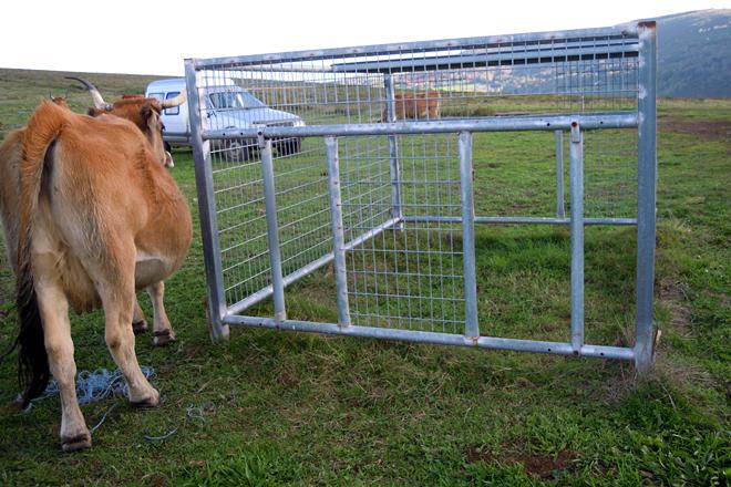 Fixeron uns comedeiros especiais nos que só entran os becerros para poder cebalos nas pradeiras