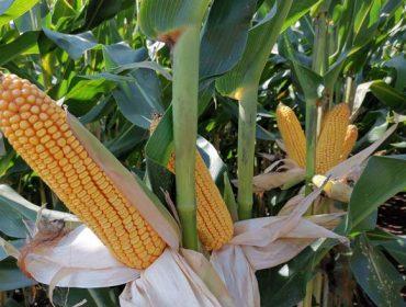 'MAS Seeds' aposta polos millos híbridos 'Green+', que toleran as secas estivais
