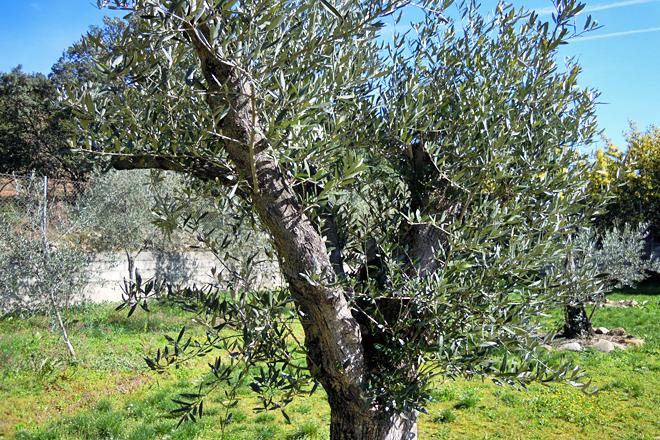 Variedade foránea. Representan o 10% das 2.000 oliveiras coas que conta Ouro de Quiroga