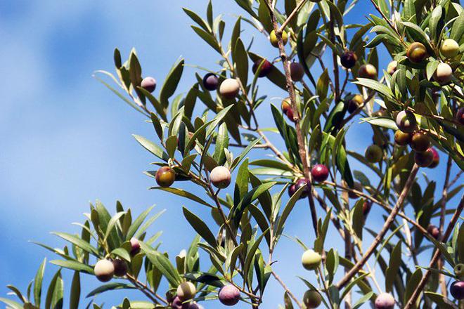 oliveiras autoctonas aceite