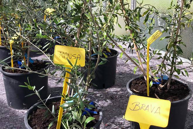 oliveiras autoctonas brava e Mansa CSIC