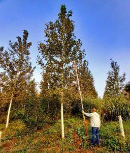 plantacion de chopos