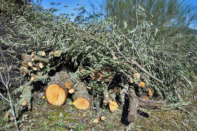 Restos de poda, que se fai en fases durante varios anos para non castigar as árbores