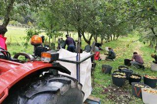 Colleita de mazá de sidra 2020, balance de produción e prezos