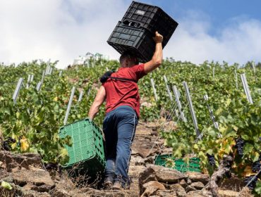 Os novos contratos homologados para a compra-venda de uva: valoracións do sector en Galicia