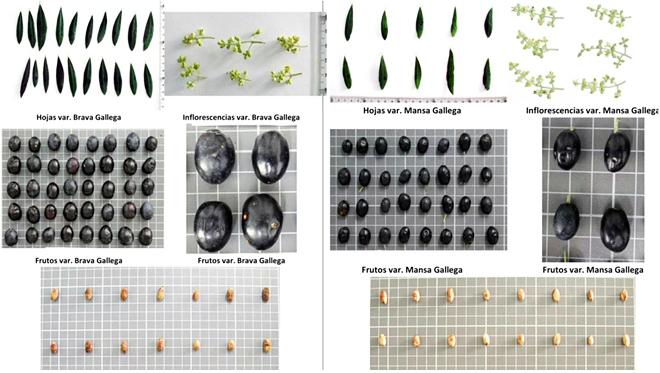 Fichas de caracterización das variedades brava e mansa elaboradas polo CSIC