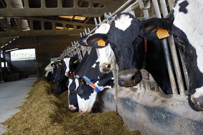 Contan cun cento de vacas en produción divididas en dous lotes: o do robot e o da sala