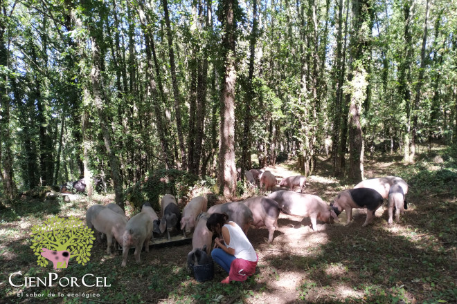 Porcos de CienPorCel nunha carballeira de Osmo