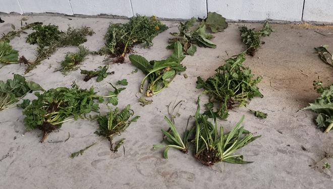 Variedade-de-plantas-inoportunas-
