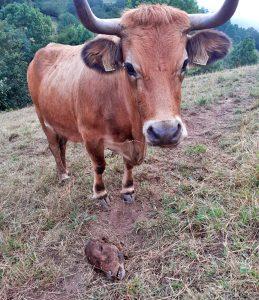 Unha vaca xunto á cabeza dun becerro devorado polo lobo