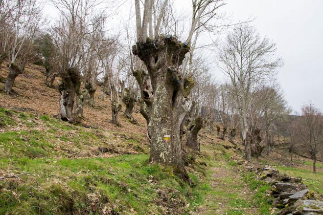 La Diputación de Lugo favorece el aprovechamiento económico sostenible de los bosques de castaños en la Reserva de los Ancares Lucenses