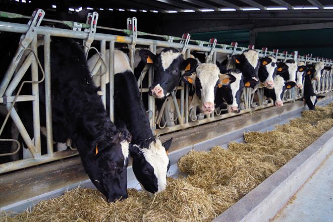 Vacún de leite, porcino e avicultura, as producións gandeiras con mellores resultados en 2020