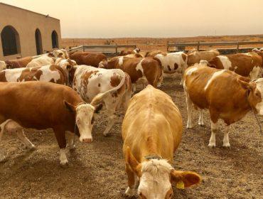 Gandaría Microtón: O reto de producir leite de vaca en Canarias importando toda a alimentación