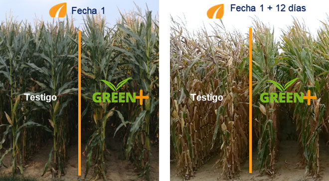 comparativa millos mas seeds