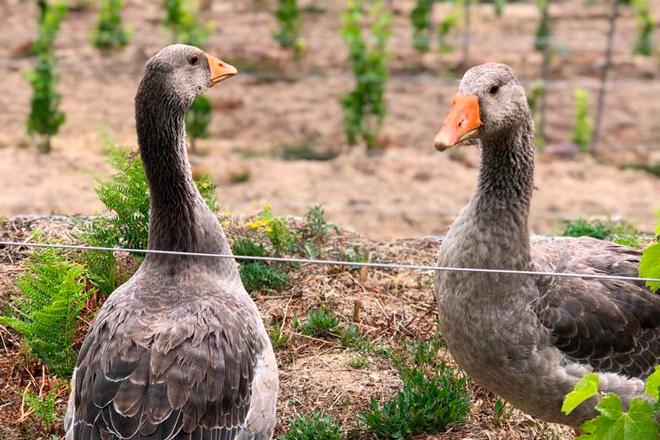 Patos-Adega-Pateiro-