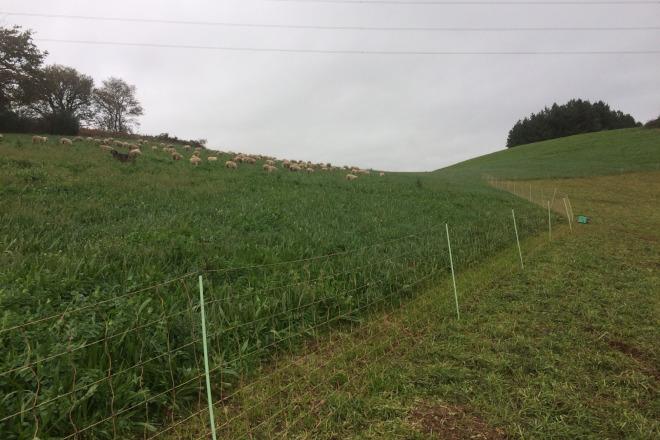 Ovejas de Ganadería Sabugueiras pastando parcelas de ganaderos de vacuno de leche