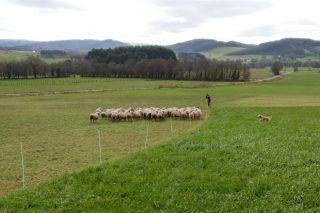 Gandeiros de ovino que pacen en inverno as pradeiras dos de vacún de leite: Un exemplo de beneficio mutuo