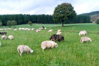 Importes definitivos das axudas asociadas para gandarías de ovino e de caprino