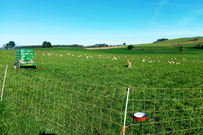 Ovejas de la ganadería de Joan Alibés en una pradera cedida