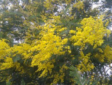 Acacias, a 'praga' que mata 'pragas'