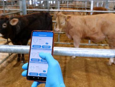Cambios que implantará o mercado gandeiro de Silleda para mellorar as poxas e o benestar animal