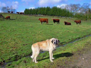Cursos sobre gandería de vacún de carne, ovino – cabrún e prevención de ataques do lobo