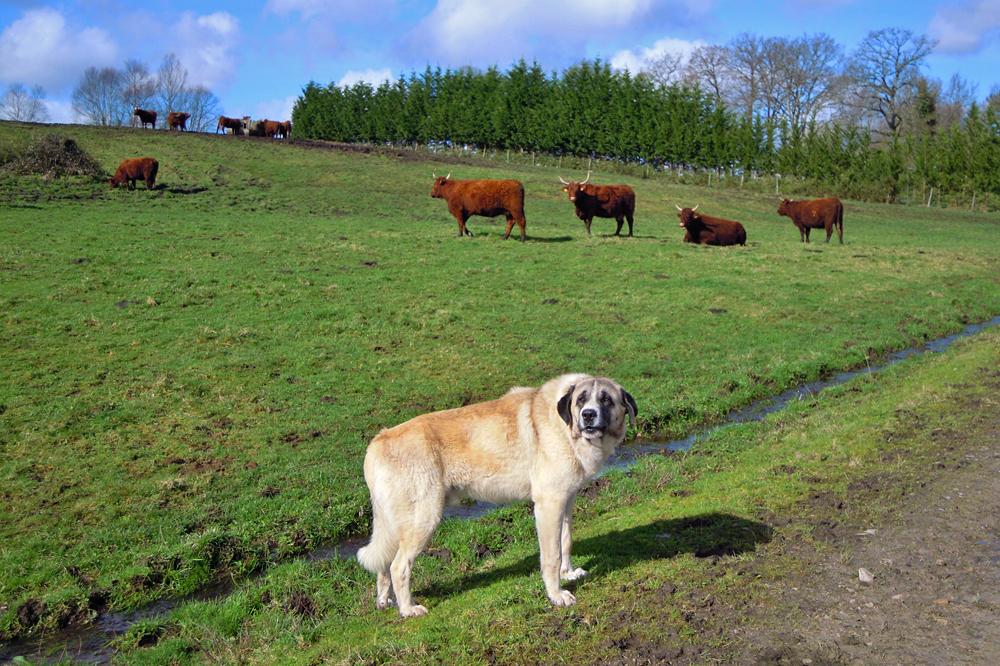Oito mastíns coidan das vacas que evitar os ataques do lobo, un método que cos cabalos non é efectivo