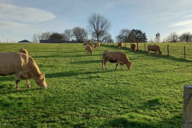 SARRIA vacas rubias pasto 2