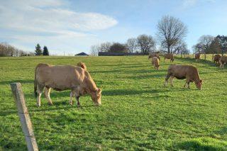 Véndense vacas rubias e material gandeiro en Sarria