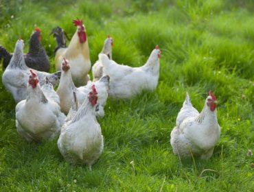 De Heus presenta a súa nova gama de pensos para galiñas poñedeiras