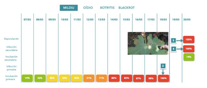 Esporulacion-infeccions-e-incubacions-secundarias-de-mildio-_Viticast-