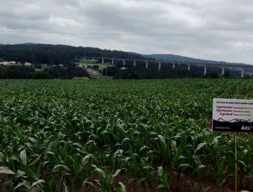 ICL demostra en campo a eficacia do seu programa de fertilización integral para millo