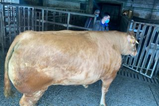 Unha vaca de raza Rubia Galega alcanza un peso de 884 quilos en canal