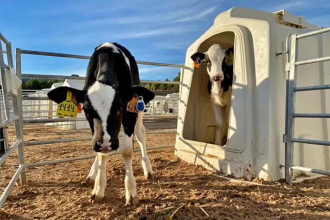 Becerras con crotais electrónicos no centro de recría Cowvet de Valencia