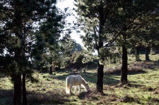 """""""En Galicia hai moita cabida para o piñeiro en montes onde as frondosas terían dificultades"""""""