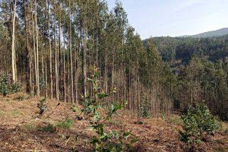 A Xunta anuncia un plan de control de novas plantacións de eucalipto