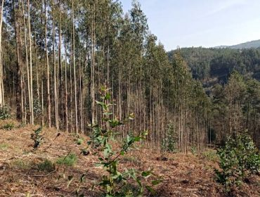 O Sindicato Labrego advirte un aumento de plantación de eucaliptos para eludir a futura moratoria