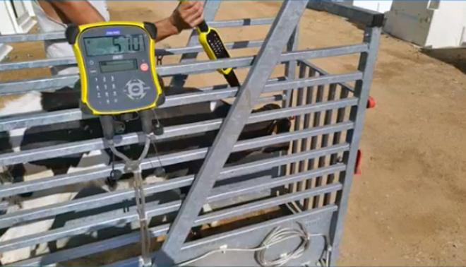 Báscula móbil de pesaxe dotada de dispositivo electrónico conectado aos crotais para a toma de datos